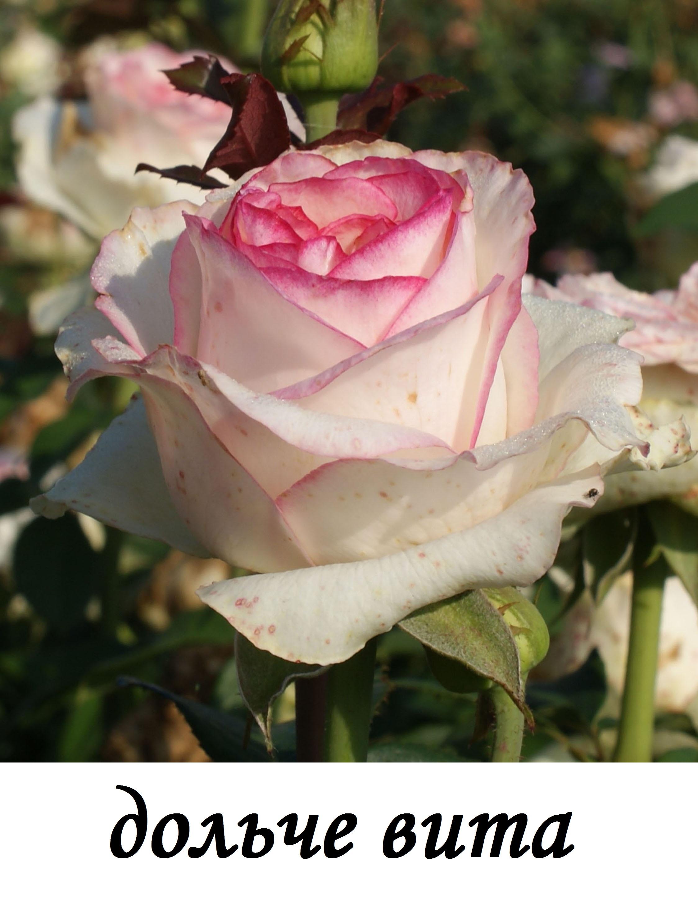 Виды цветов роз названия фото
